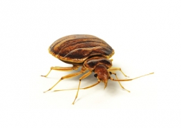 Chemically Treat Bed Bugs