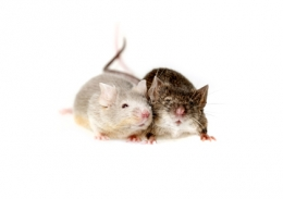 Mice & Mouse Extermination
